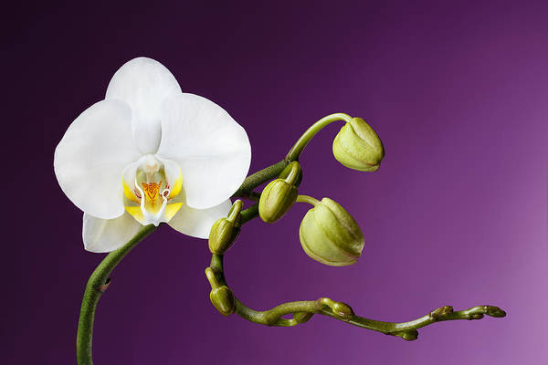 Photograph - Blossoming White Orchid On Purple Background by Sergey Taran