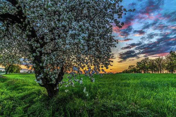 Photograph - Blossomming Tree By Twiglight by Julis Simo