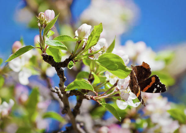 Photograph - Blossoms And Butterfly by Tatiana Travelways