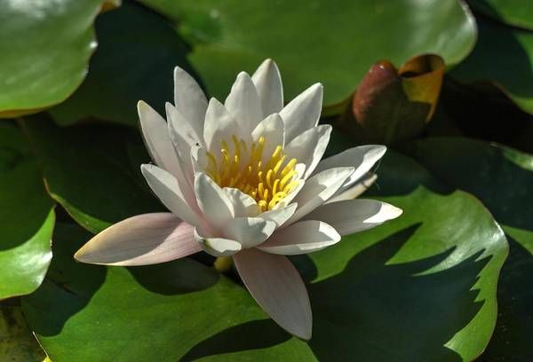 Blossoms And Lily Pads 8 Art Print