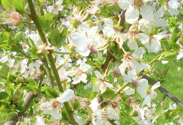 Photograph - Blossoms At Early Spring by Laura Greco