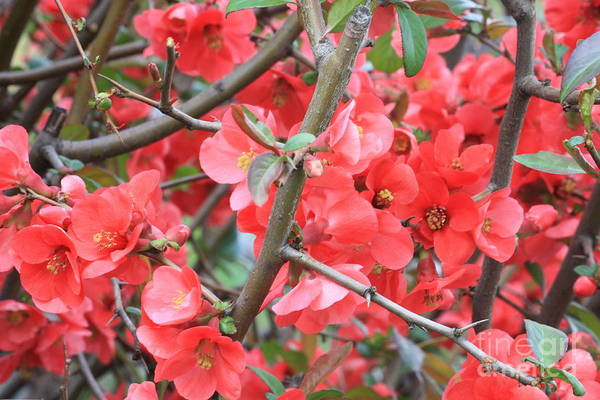 Quince Photograph - Blossoms Branches And Thorns by Carol Groenen