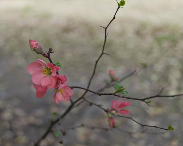 Photograph - Blossoms On A Thorny Branch by MM Anderson