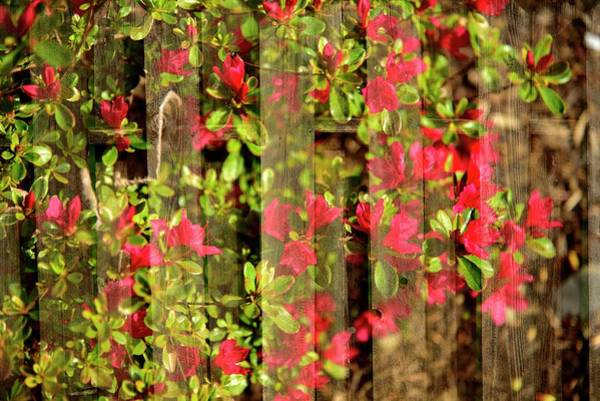 Photograph - Blossoms On Fence by Jerry Sodorff