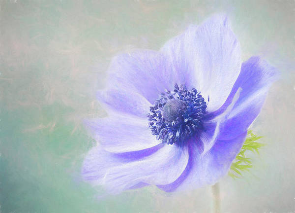 Photograph - Blowing In The Wind-windflower. by Usha Peddamatham