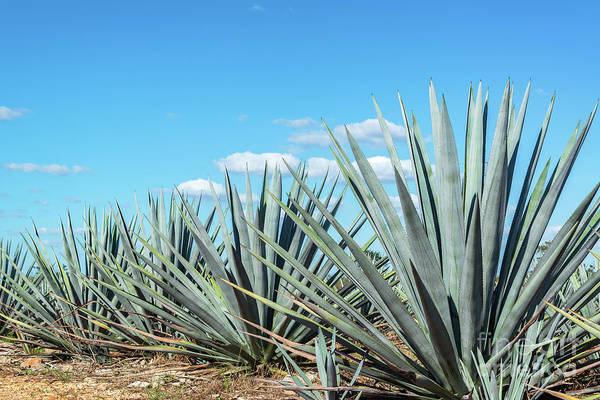 Wall Art - Photograph - Blue Agave And Blue Sky by Jess Kraft