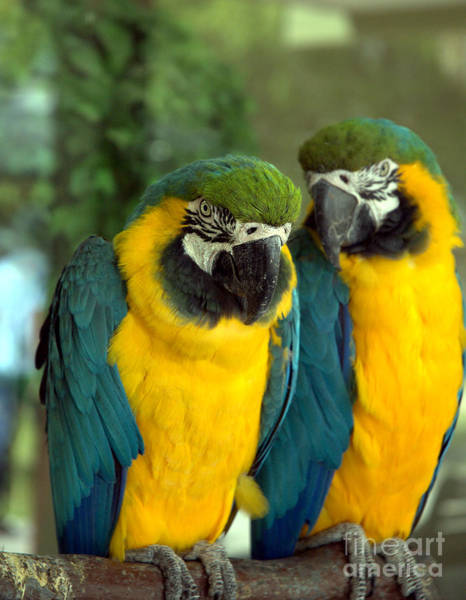 Shotwell Photograph - Blue And Gold Macaws by Kathi Shotwell