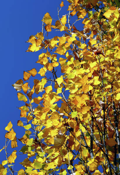 Photograph - Blue And Gold by Nicholas Blackwell