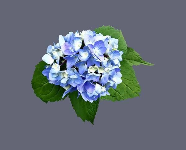 Photograph - Blue And Purple Hydrangea by Susan Savad