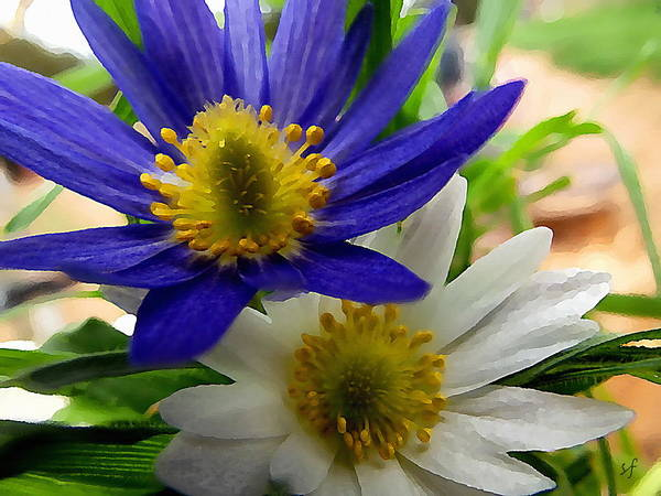 Blue And White Anemones Art Print