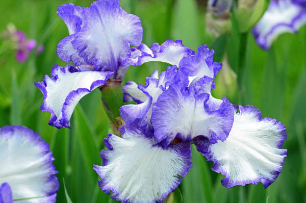 Photograph - Blue And White Iris by Rodney Campbell