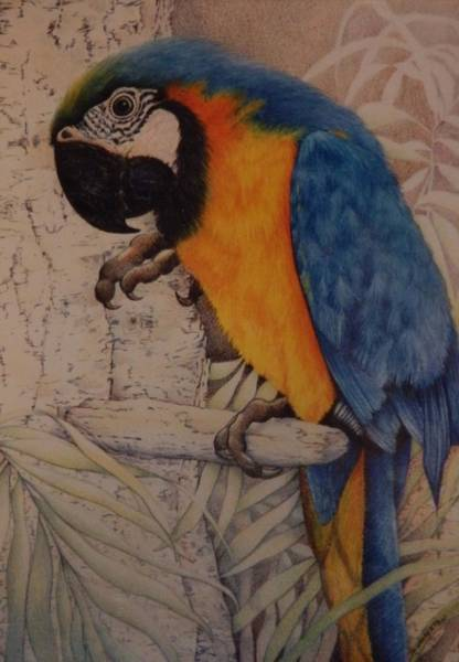Blue Parrot Drawing - Blue And Yellow Macaw by Catherine Robertson