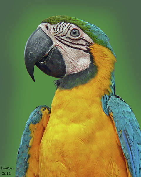 Photograph - Blue-and-yellow Macaw by Larry Linton