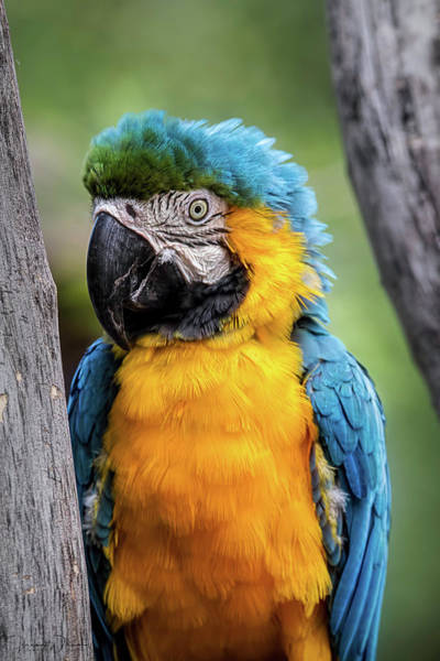 Photograph - Blue And Yellow Macaw Portrait  by Teresa Wilson