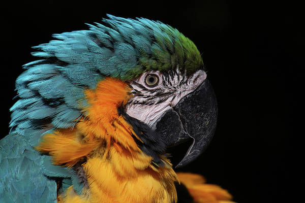 Photograph - Blue-and-yellow Macaw by Tazi Brown