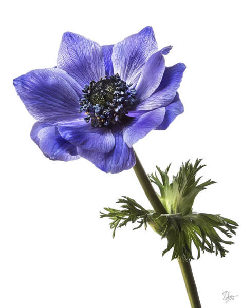 Photograph - Blue Anemone by Endre Balogh