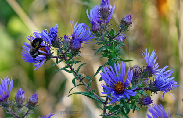Aster Photograph - Blue Aster Delight by Garth Glazier