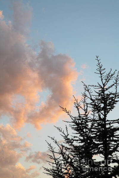 Wall Art - Photograph - Blue Atlas Cedar Tree And Pink Clouds by William Kuta