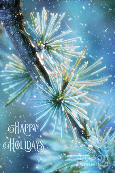 Photograph - Blue Atlas Cedar Winter Holiday Card by Anita Pollak