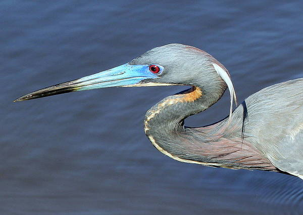 Photograph - Blue Beak by Sean Allen