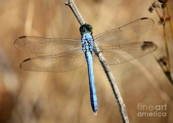 Blue Dragonfly Photograph - Blue Beauty by Carol Groenen