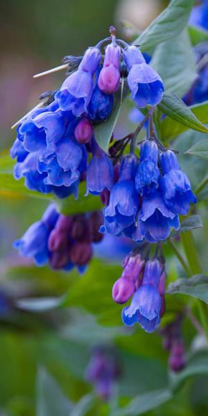 Photograph - Blue Bell Vertical by Aaron Spong