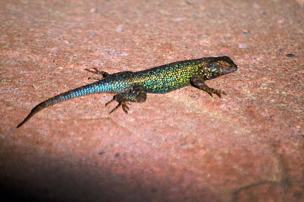 Photograph - Blue Bellied Fence Lizard In Breeding Colors by Frank Wilson