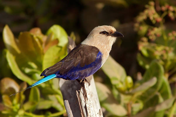 Photograph - Blue-bellied Roller On Fencepost  by Aivar Mikko