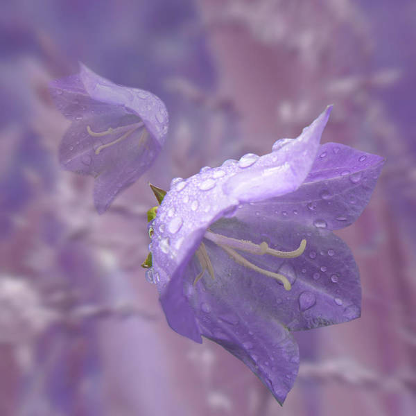 Photograph - Blue Bells by Barbara St Jean