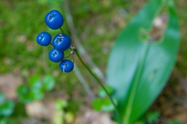 Photograph - Blue Berries by Christopher Meade