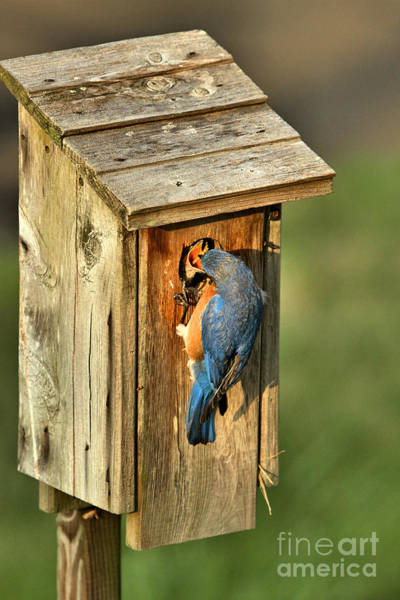 Photograph - Mouthful Of Meal Worms by Adam Jewell