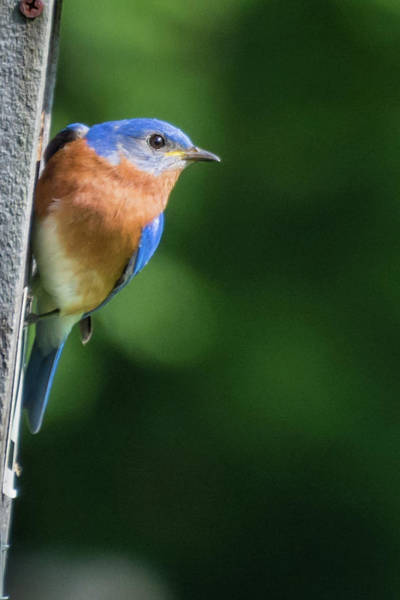 Photograph - Blue Bird by John Benedict