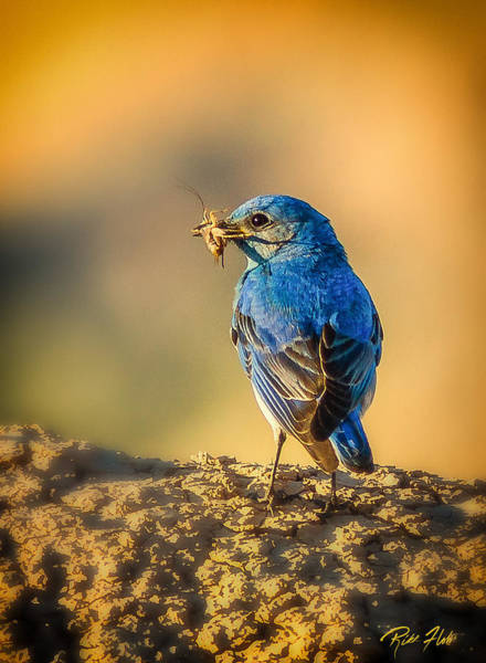 Photograph - Blue Bird With Breakfast by Rikk Flohr