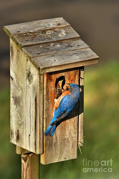 Photograph - Bluebird Feeding Time by Adam Jewell