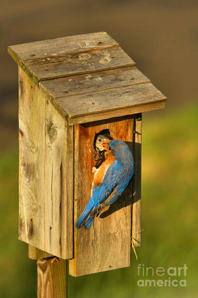Photograph - Blue Bird Feeding His Young by Adam Jewell