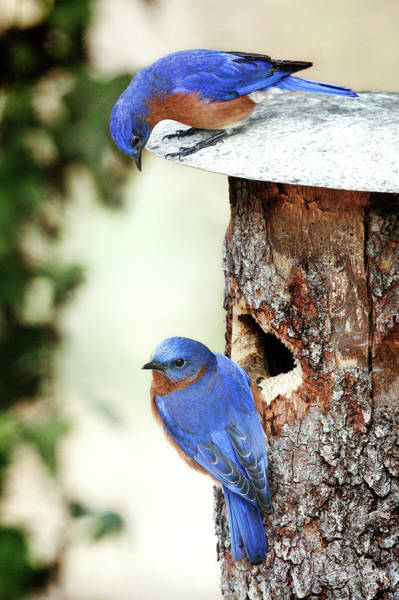Blue Birds Are Moving In Art Print