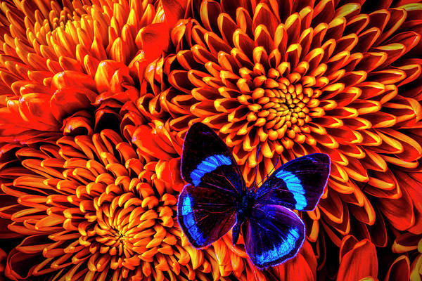 Mum Photograph - Blue Black Butterfly On Mums by Garry Gay