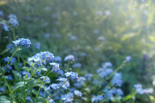 Photograph - Blue Blooms by Gene Garnace