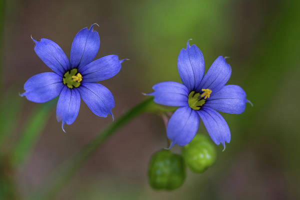 Photograph - Blue Blooms In Morning Light by Lori Coleman
