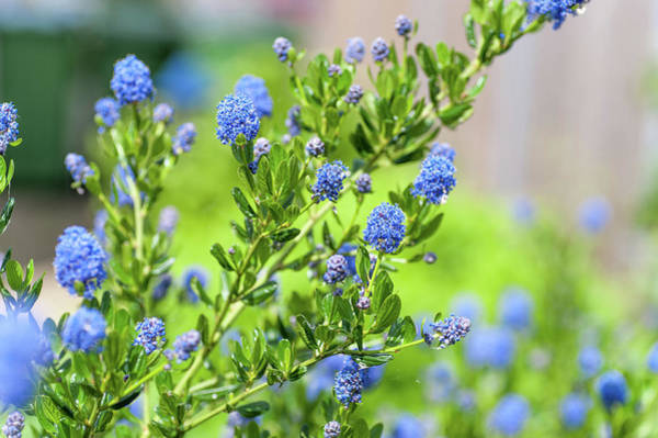 Photograph - Blue Blossom Of Ceanothus Concha by Jenny Rainbow