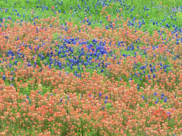 Photograph - Blue Bonnets And Indian Paintbrush-texas Wildflowers by Usha Peddamatham