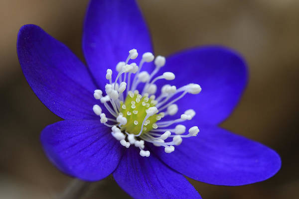 Liverwort Photograph - Blue Buttercup by Romeo Koitmae