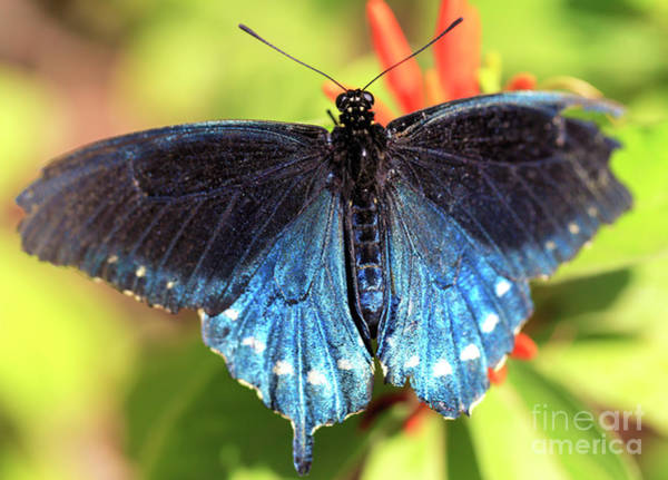 Photograph - Blue Butterfly by John Rizzuto