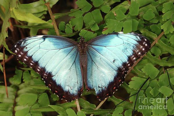 Wall Art - Photograph - Blue Butterfly On Green Leaves by Carol Groenen
