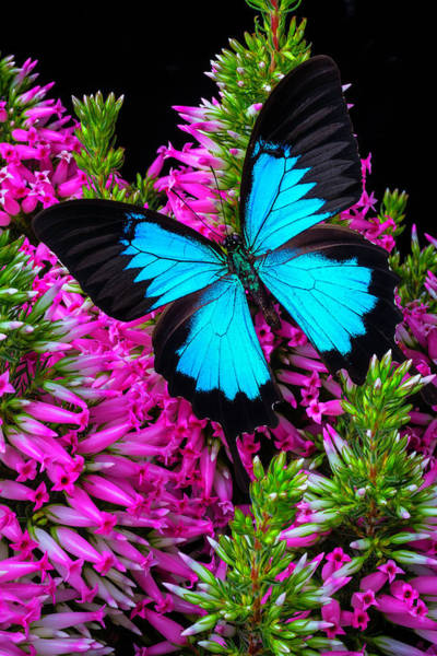 Butterfly Bush Wall Art - Photograph - Blue Butterfly On Heather by Garry Gay