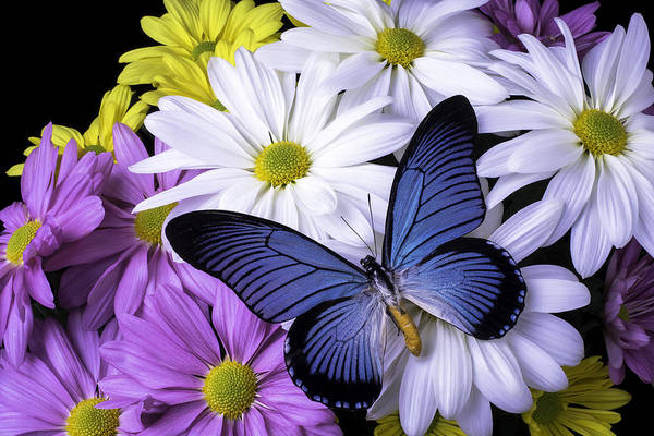 Mum Photograph - Blue Butterfly On Mixed Mums by Garry Gay