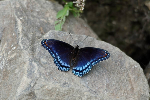 Photograph - Blue Butterfly by Peter Ponzio