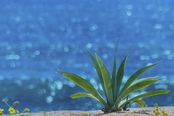 Photograph - Blue Cactus by Pamela Steege
