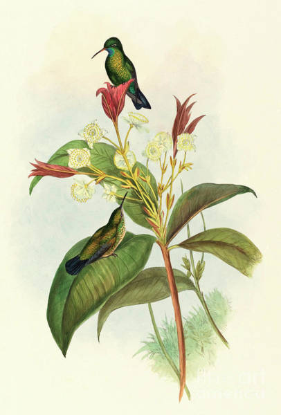 Tropical Plants Painting - Blue Chinned Sapphire by John Gould