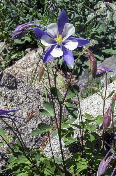 Photograph - Blue Columbine Colorado Mountains by NaturesPix